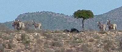 Zebras on a ridge