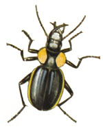 Predacious Ground Beetles