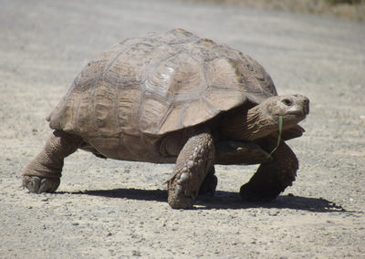 Removing Tortoises from Roads