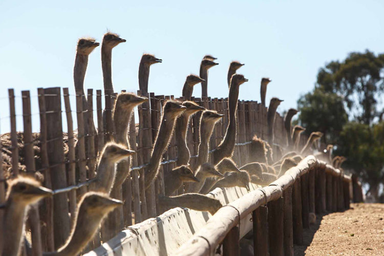 Working Ostrich Farm