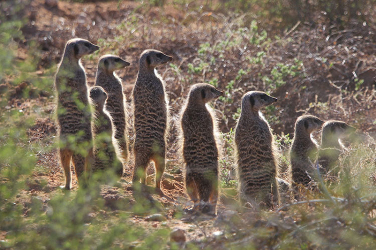 Meerkat Safari